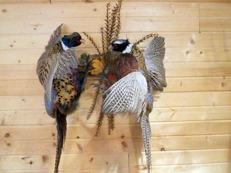 fighting-pheasants