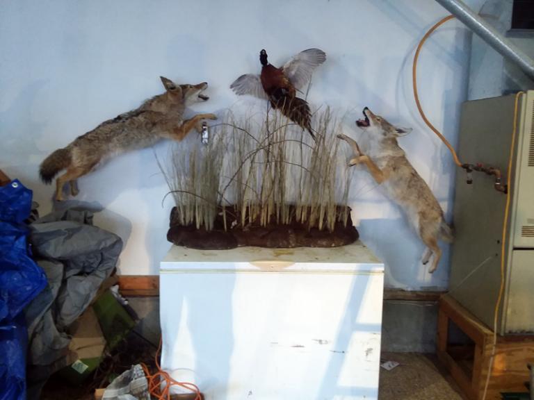 foxes-pheasant